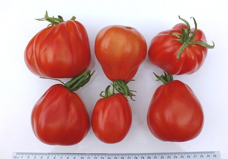 foto-5-tomaat-liguria-diana