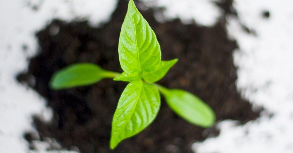 plant paprika groeien