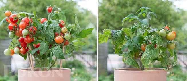 Met zonder voeding tomaten.jpg