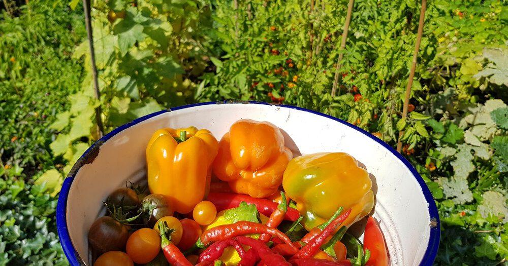 Een schaal met pepers, paprika's, tomaatjes en courgettes uit Floors Moestuin