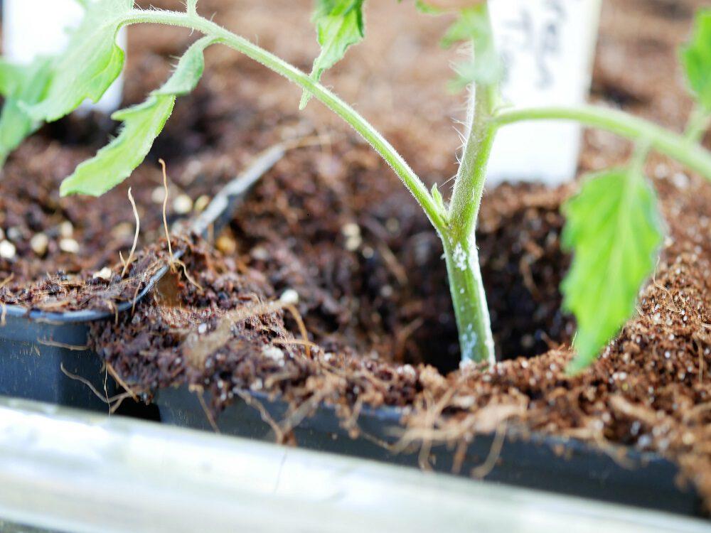 diana-foto-5-tomaat-stekken-in-grond-zakken