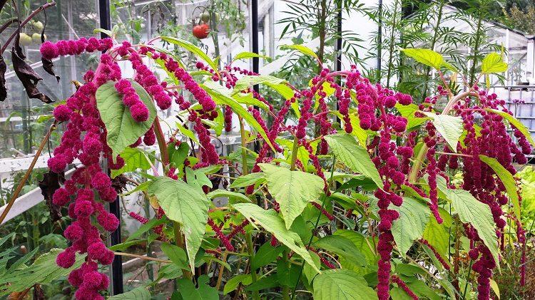 diana-1-amaranthus-dreadlocks-op-rij