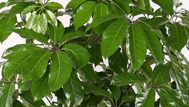 Schefflera glanzend blad