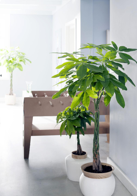 pachira-geldboom-in-pot