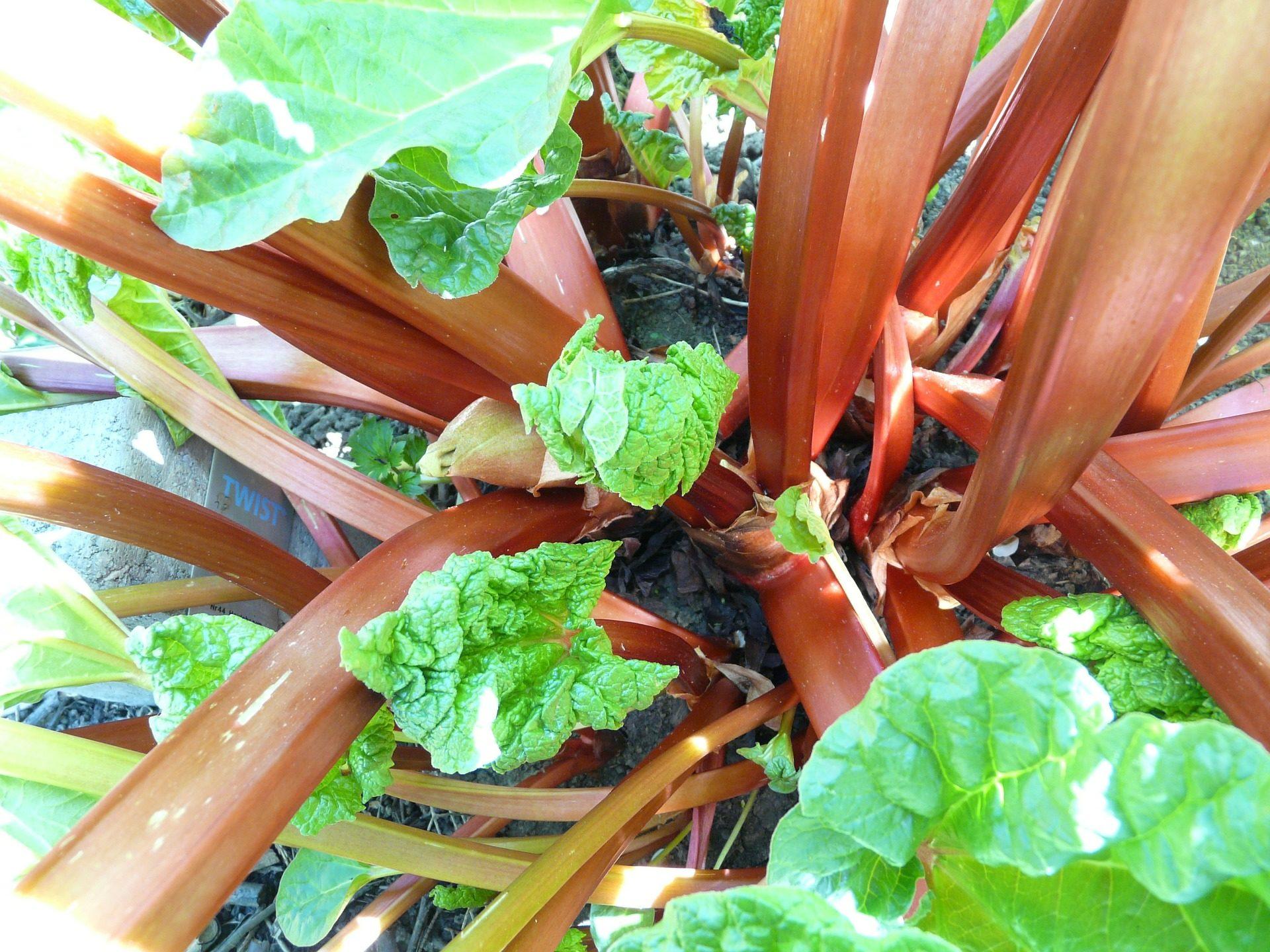 Rabarber kweken