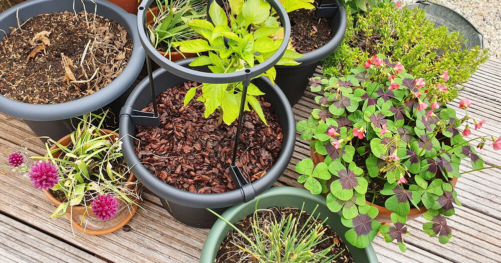 Potten met cacaodoppen mulch, zodat je minder vaak water hoeft te geven