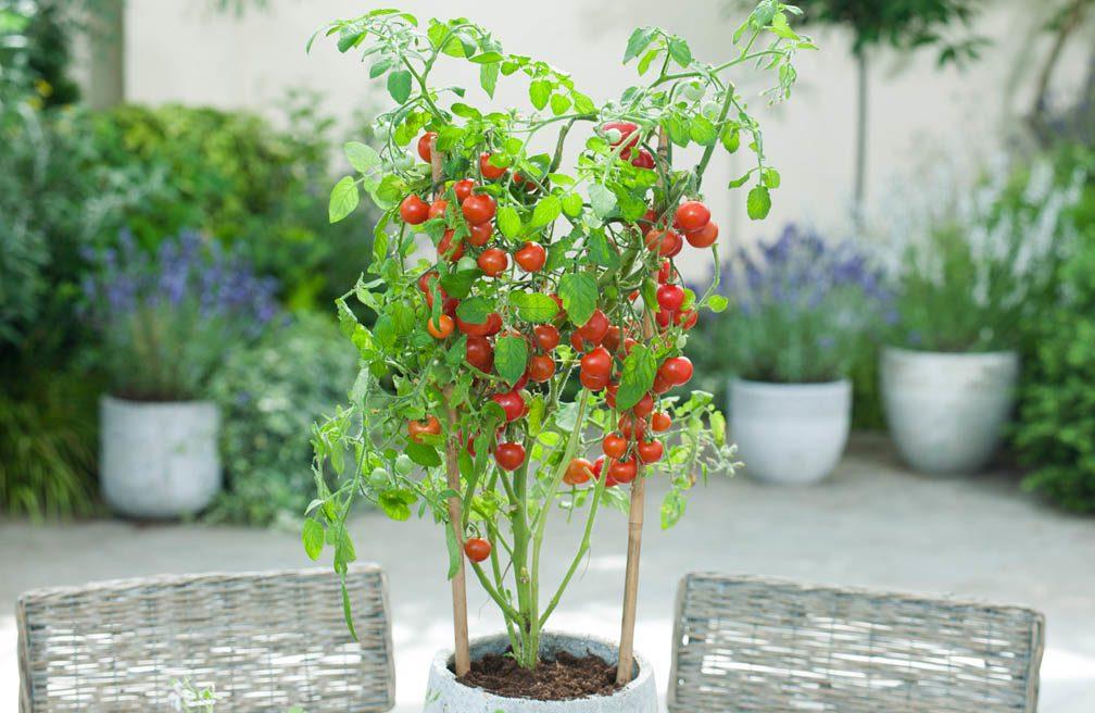 Tomaten - in pot