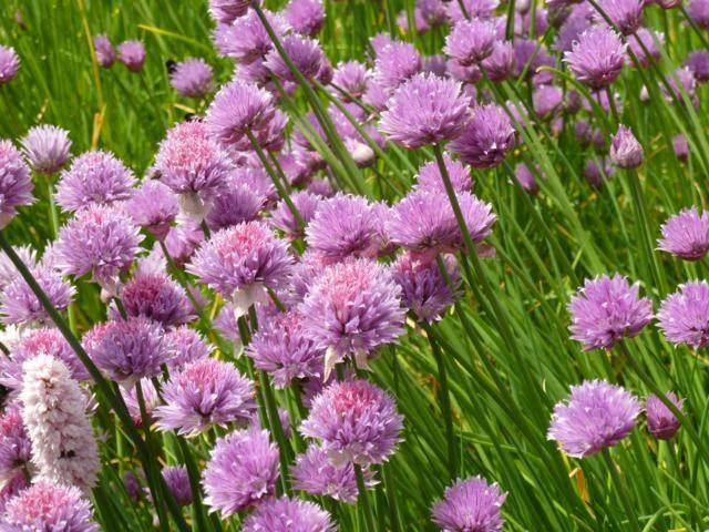 Bieslook-bloem
