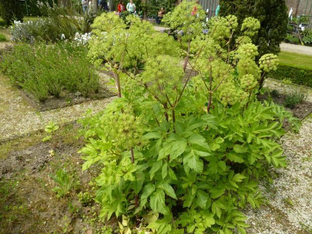 Engelwortel plant