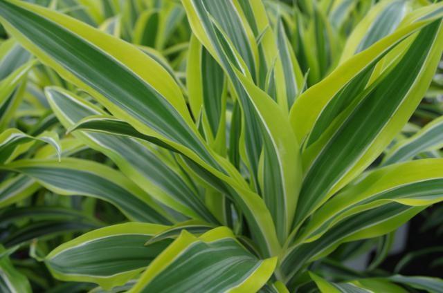 Dracaena Ti-plant