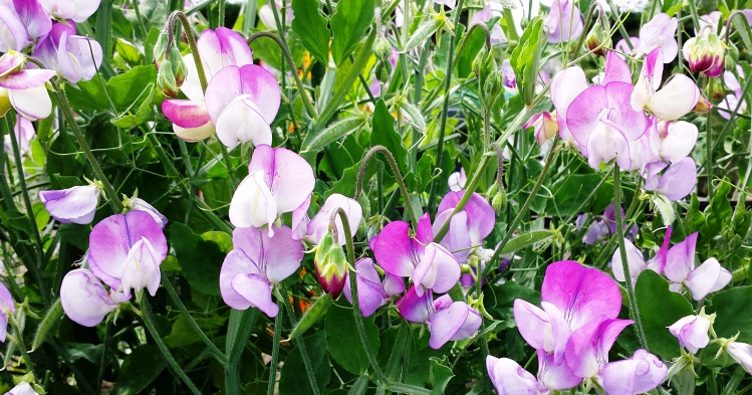 Lathyrus odoratus Pansy Lavender Flush