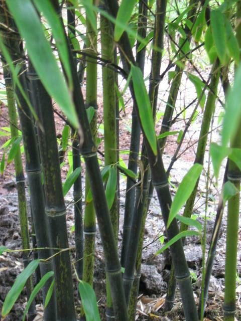 Bamboe-