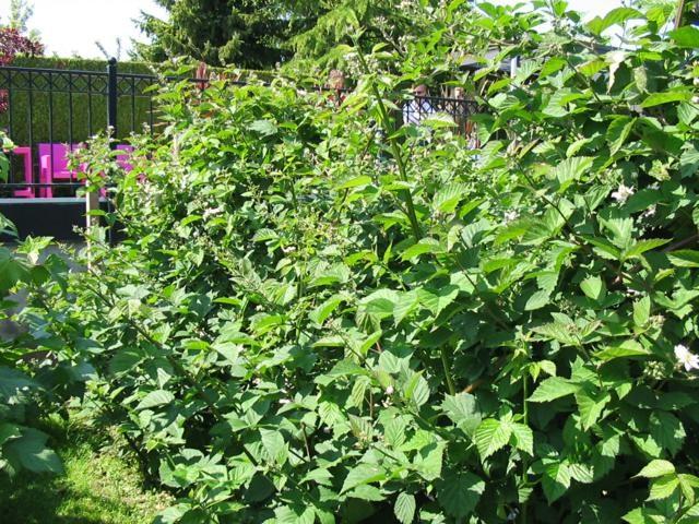 Doornloze braam Thornless Evergreen