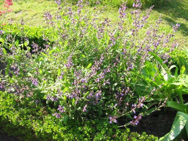 Salie - plant