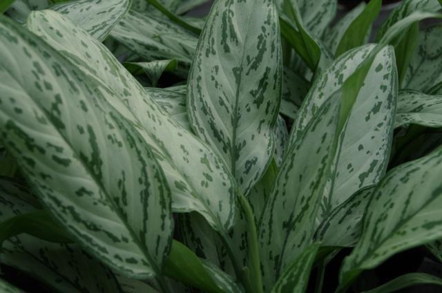 Aglaonema groen blad