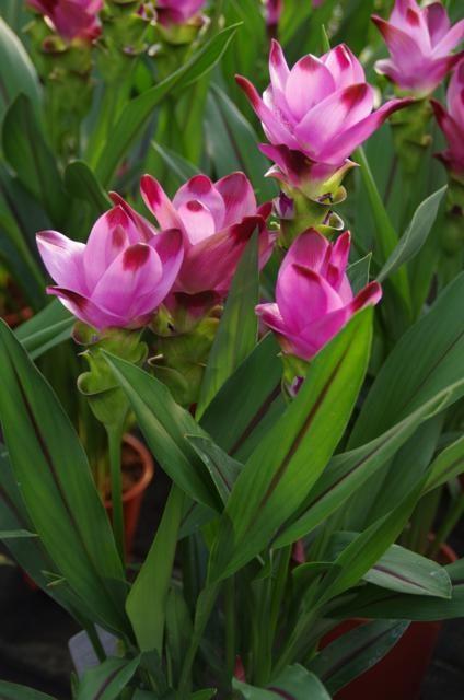 Curcuma siamtulp roze