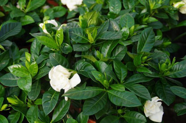 Gardenia blad en bloem