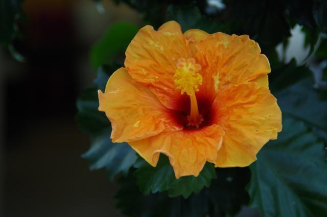 Chinese roos Hibiscus oranje