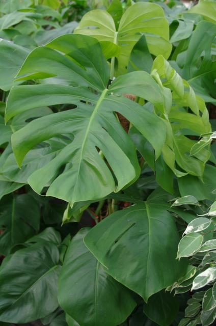 Gatenplant groot blad