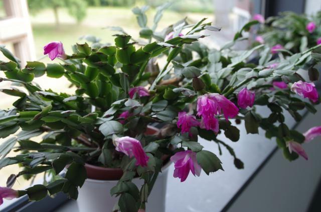 Lidcactus paarse bloemen