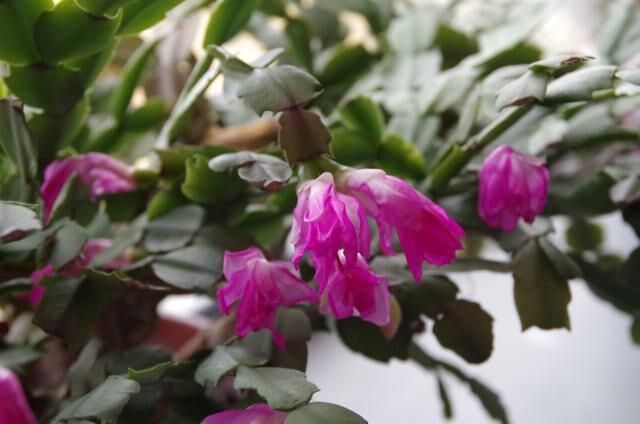 Lidcactus paarse bloemen close-up