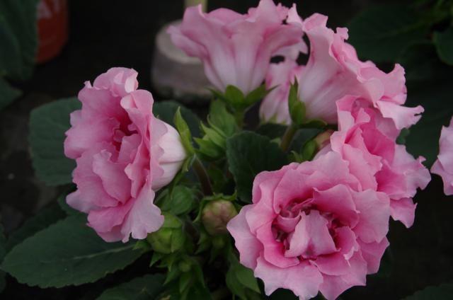 Gloxinia roze