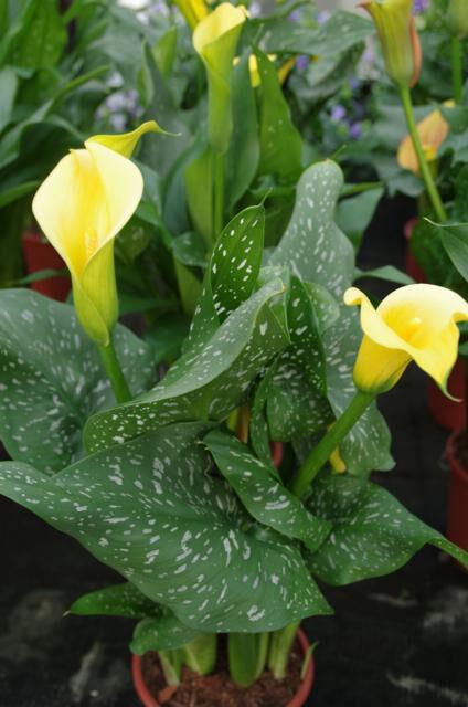 Aronskelk geel