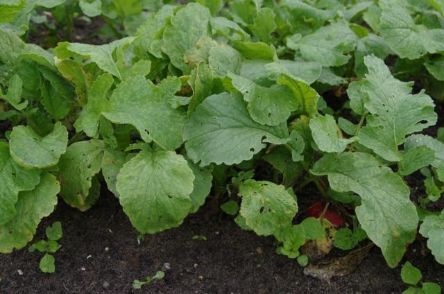 Radijs - plant