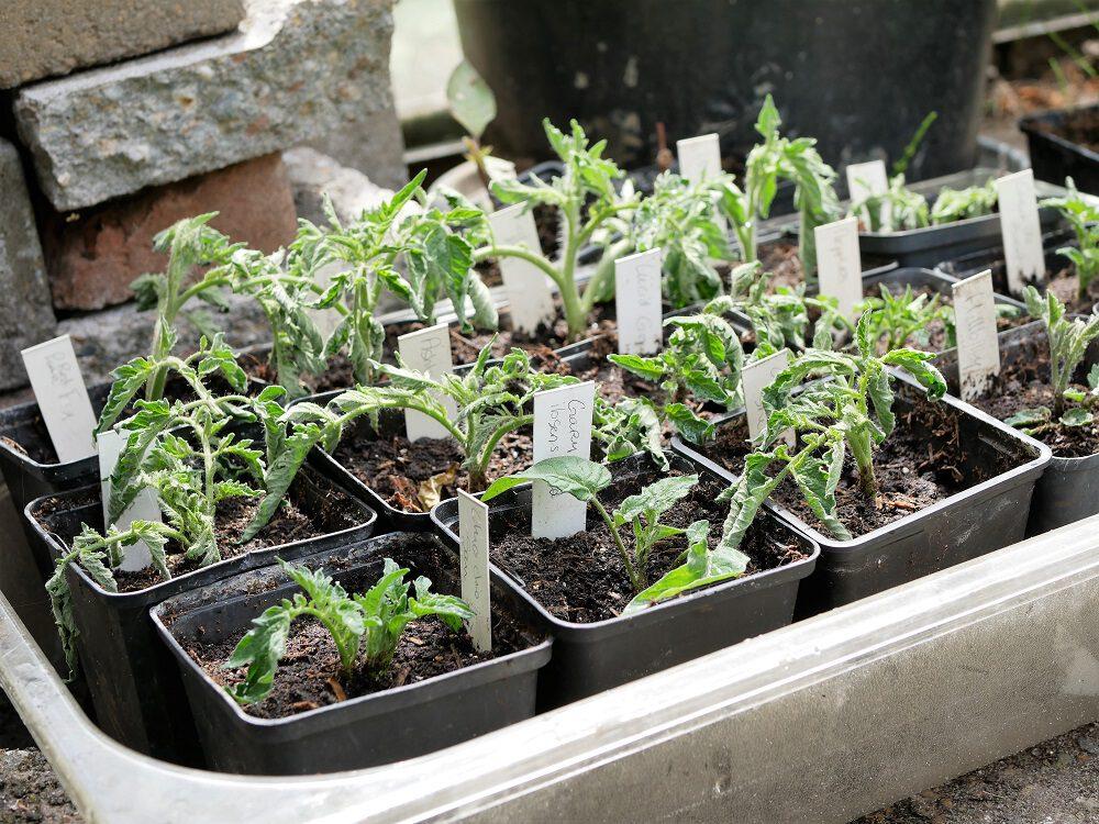diana-foto-8-tomaten-3-dagen-na-het-stekken