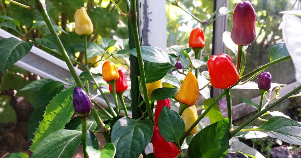 chinese-pepers-5-kleuren