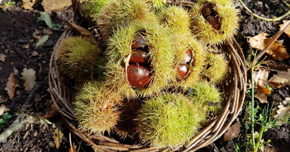 De eetbare tamme kastanjes in een mand in de moestuin