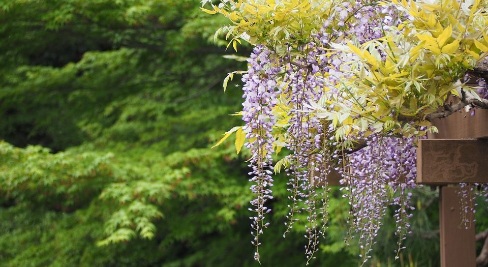 wisteria-blauwe-regen