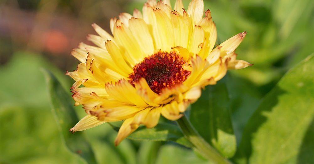 Een prachtige gele Calendula bloem uit de moestuin van Diana