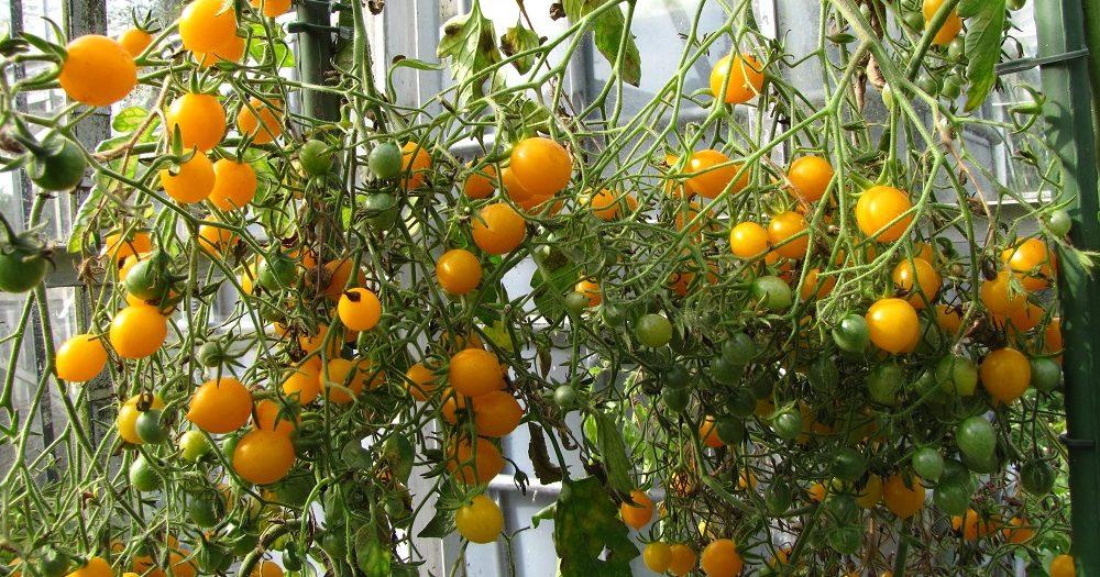 Een grote tros met gele en groene tomaatjes in de kas