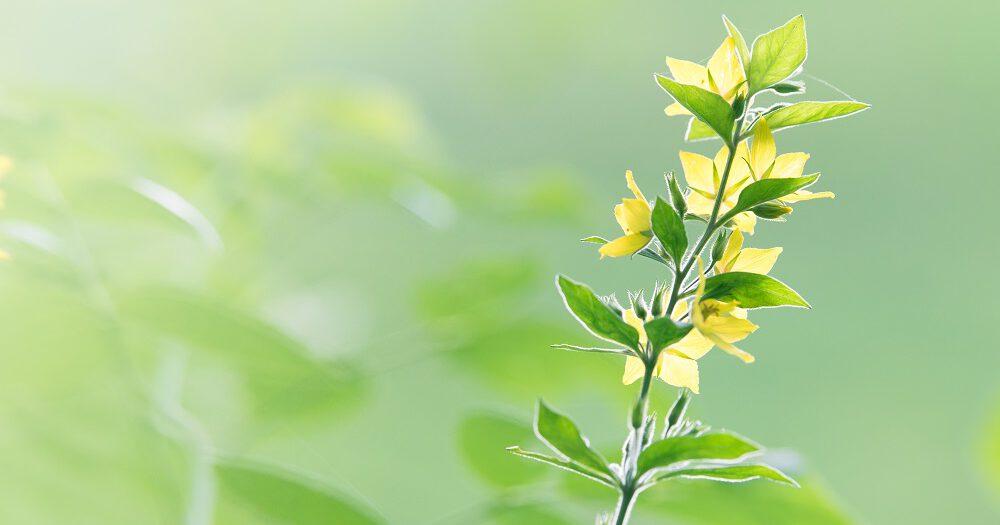 gele plant