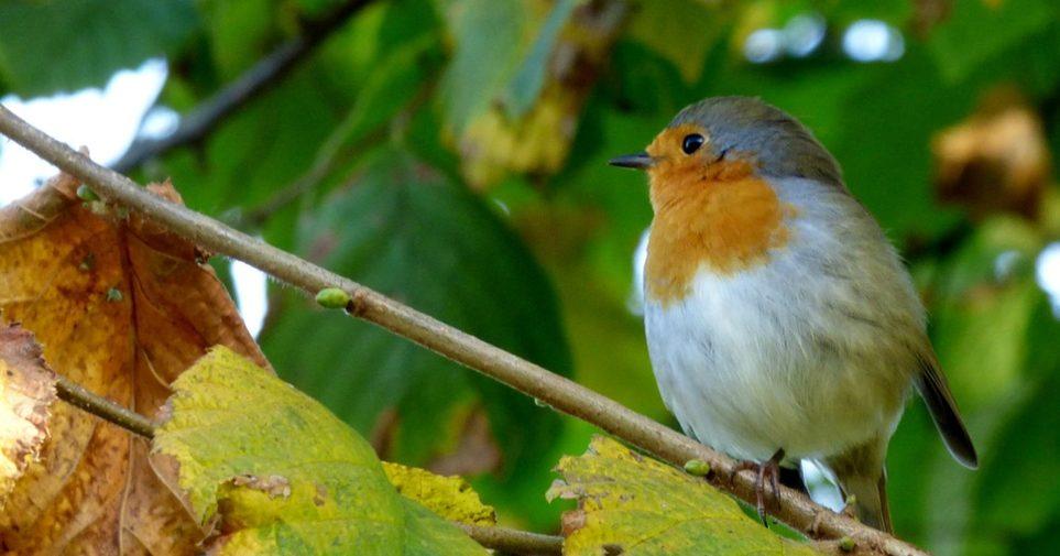 Roodborsje - vogels verwennen