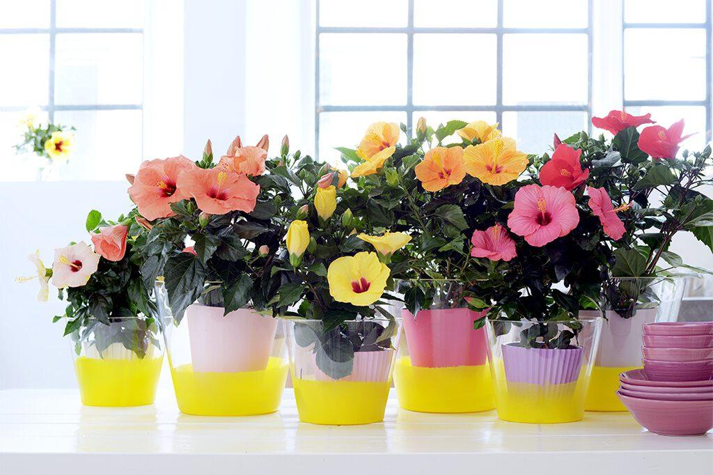Hibiscus in pot verschillende kleuren