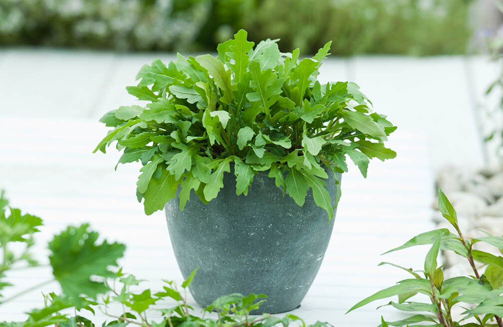 Rucola sla - in pot